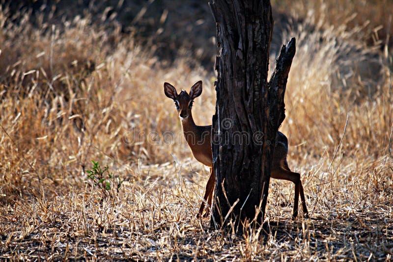 Kirk dik-dik. A kirk`s dik-dik behind a tree in the tarangire national park in tanzania royalty free stock images