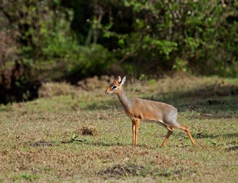 Download Kirk's dik dik stock photo. Image of kirk, antelope, female - 17145760