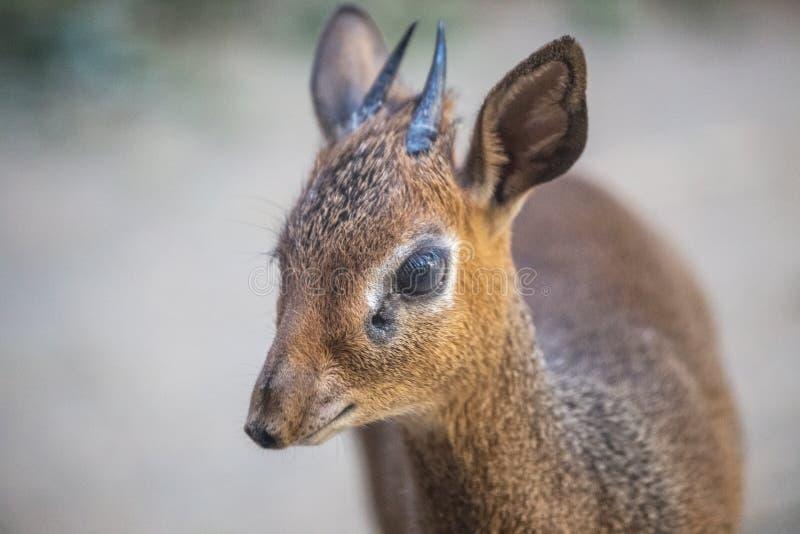 Kirk`s dik-dik Madoqua kirkii antelope. Kirk`s dik-dik Madoqua kirkii, a small antelope royalty free stock image