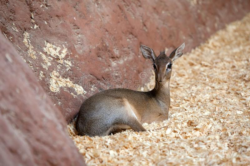 Kirkii de Madoqua du dik-dik de Kirk dans le zoo de Prague photo stock