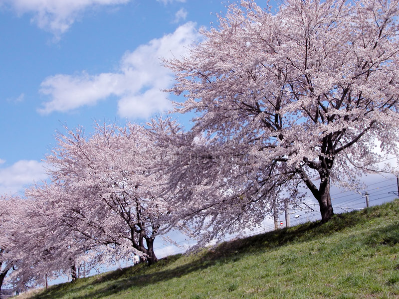 Kirschbäume stockfotos