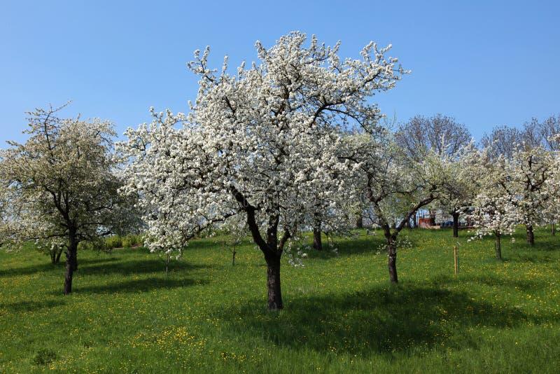Kirschbäume auf einer grünen Wiese lizenzfreie stockfotografie