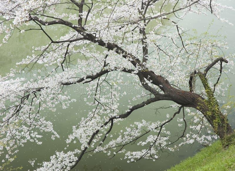 Kirschbaum durch den Fluss stockfotografie
