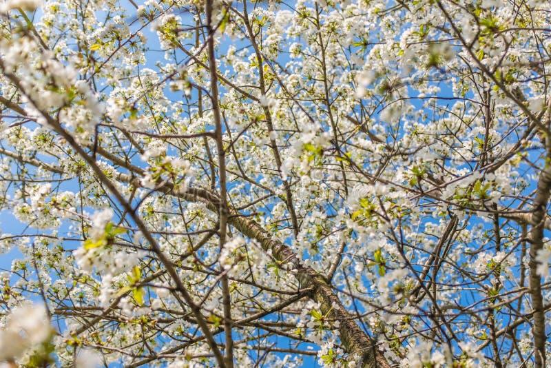 Kirschbaum in einer vollen Blüte lizenzfreie stockfotos