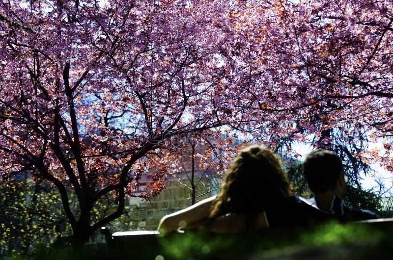 Kirschbaum im Frühjahr lizenzfreie stockbilder