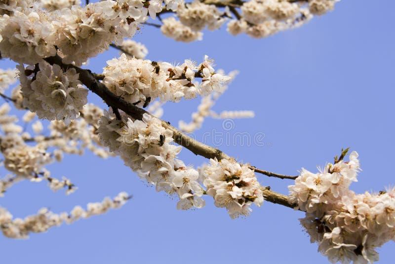 Kirschbaum mit Blumen und Bieren lizenzfreie stockbilder