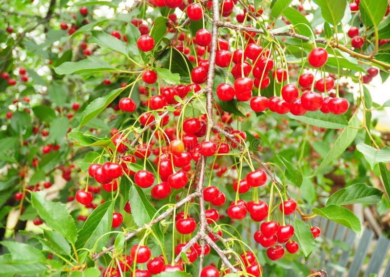 Kirschbaum mit reifen sauren roten Kirschen Ein Kirschbaum lizenzfreie stockbilder
