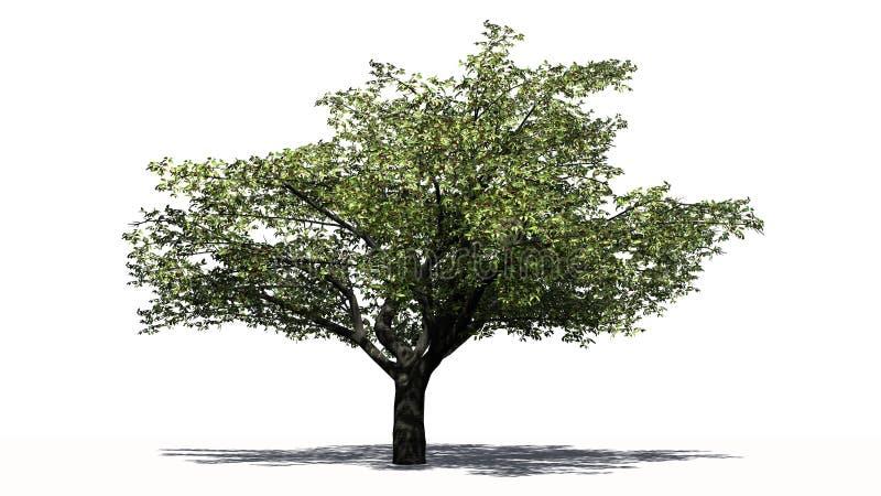 Kirschbaum mit Schatten stock abbildung