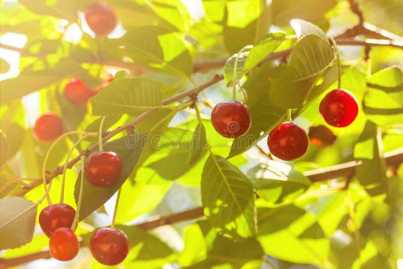 Kirschbaum-Prunus cerasus - Sauerkirsche oder scharfe Kirsche mit Früchten lizenzfreie stockbilder
