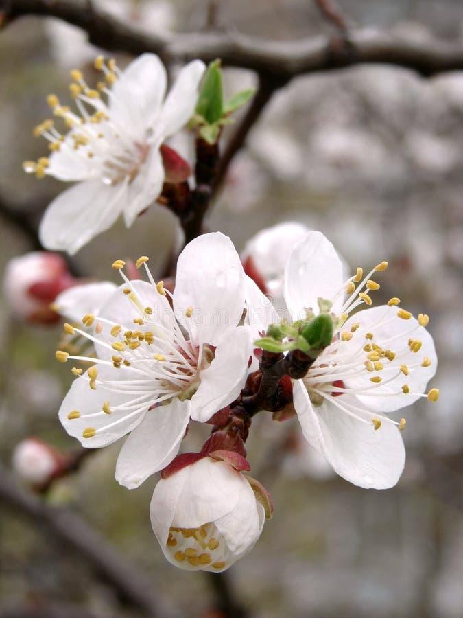 Kirschbaumblüte lizenzfreies stockbild