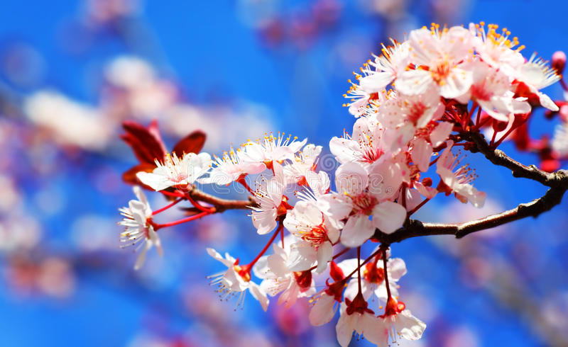 Kirschbaumblüte stockfotos