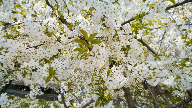 Kirschblüte, Prunus cerasus, Makrobeschaffenheitshintergrund von weißen zarten Blumen im Frühjahr, europäischer Kirschbaum lizenzfreie stockbilder