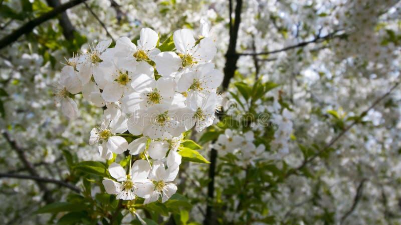 Kirschblütenbäume im europäischen Garten, Prunus cerasus, Makrobeschaffenheitshintergrund von schönen weißen zarten Blumen im Frü stockbilder