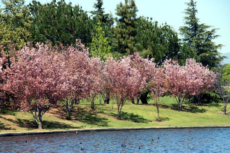 Kirschblüte lizenzfreie stockbilder