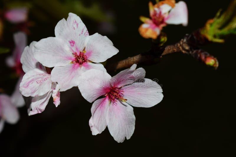 Kirschblüte lizenzfreie stockfotos