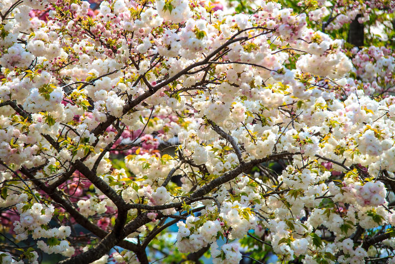 Kirschblüte in Arashiyama, Kyoto, Japan lizenzfreie stockfotos