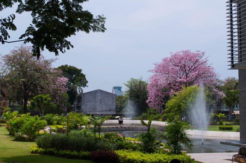 Kirschblüte-Baum in Thailand stockfotos