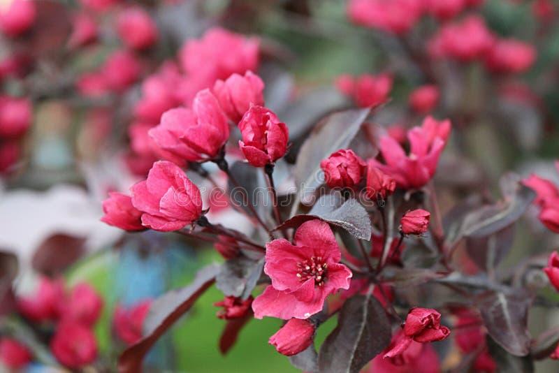Kirschblüte-Blühen stockfoto