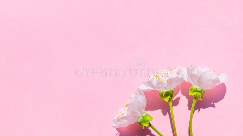 Kirschblüte-Blüte auf rosa Pastellhintergrund, Frühlingsblumen lizenzfreie stockfotografie