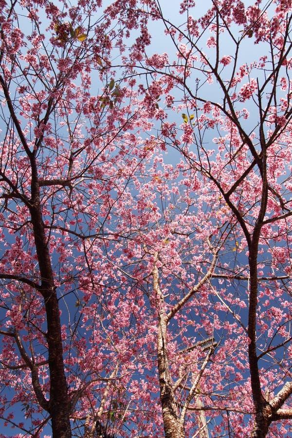 Kirschblüte-Blume in Nord-Thailand lizenzfreie stockfotos