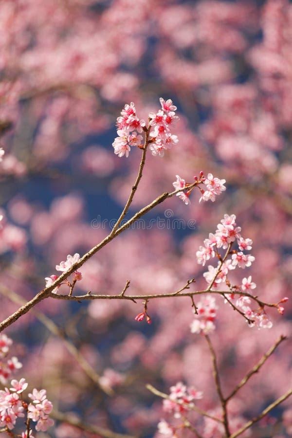 Kirschblüte-Blume in Thailand lizenzfreie stockfotografie