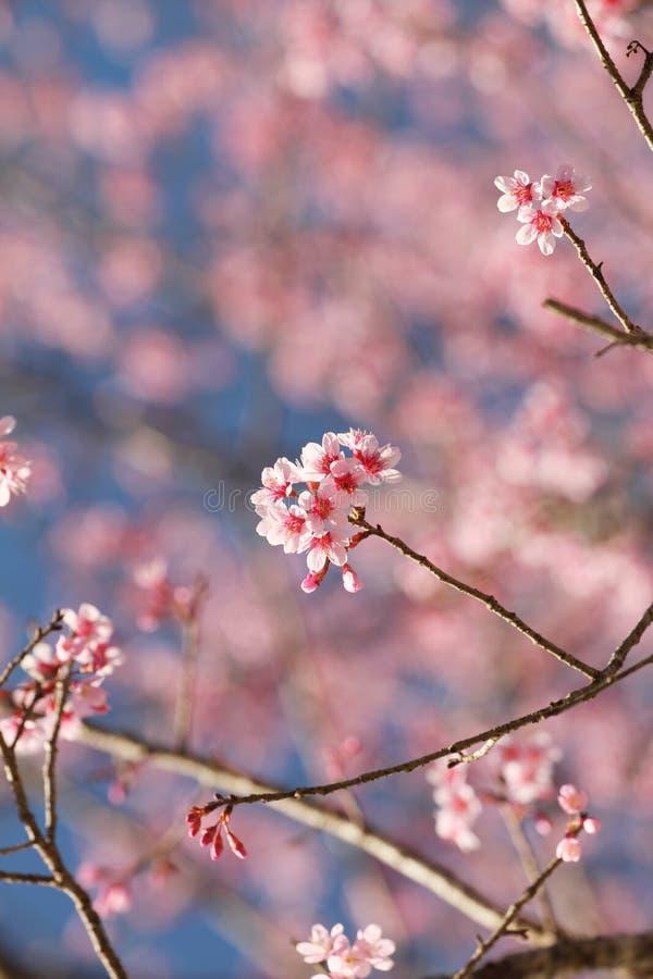 Kirschblüte-Blume in Thailand lizenzfreies stockfoto