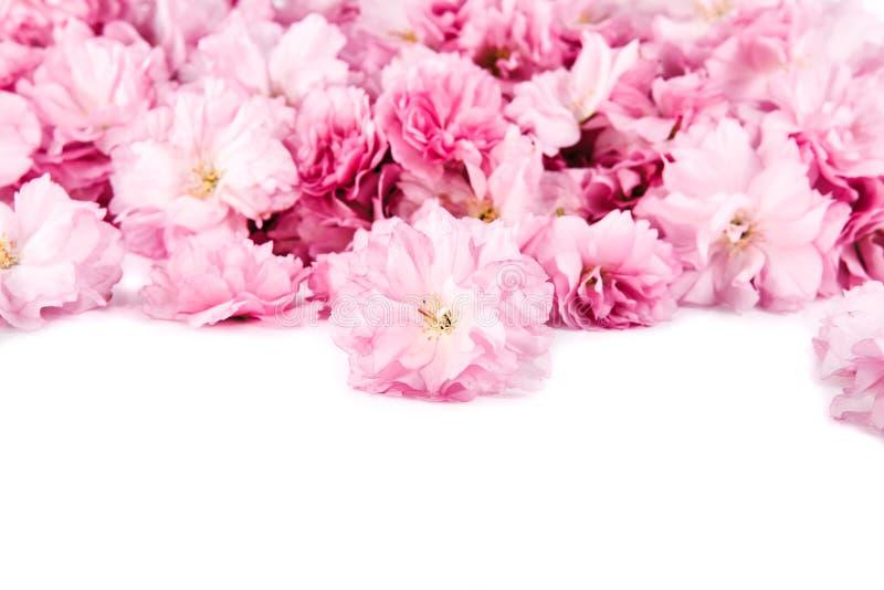 Kirschblüte-Blumen Auf Weißem Hintergrund Stockbild - Bild von zweig ...