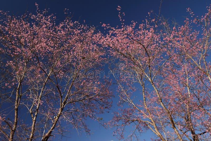 Kirschblüte-Blumen gegen tiefen blauen klaren Himmel lizenzfreies stockbild