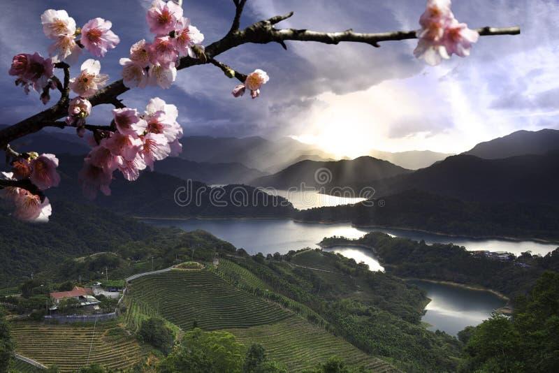 Kirschblüte-Blumen unter Teegarten lizenzfreies stockbild