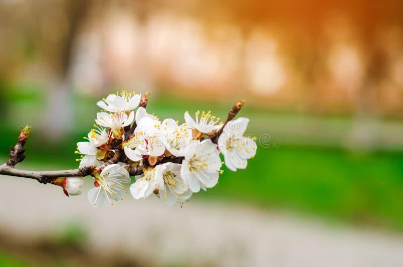 Kirschblüte an einem sonnigen Tag, die Ankunft des Frühlinges, das Blühen von Bäumen, Knospen auf einem Baum, natürliche Tapete lizenzfreie stockbilder