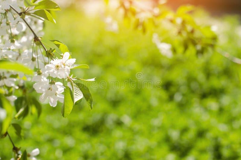 Kirschblüte an einem sonnigen Tag, die Ankunft des Frühlinges, das Blühen von Bäumen, Knospen auf einem Baum, natürliche Tapete lizenzfreies stockbild