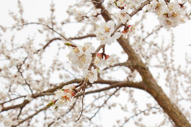 Kirschblüte im Dorf gegen den weißen Himmel Fr?hlingslandschaft, die Wiederbelebung der Natur Wei?e Blumen auf einem Obstbaum lizenzfreie stockfotos