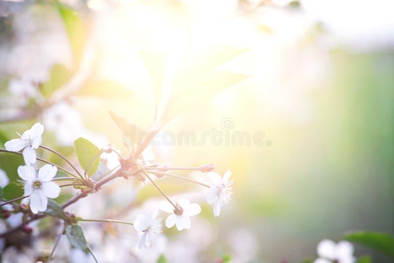 Kirschblüte im Frühjahr Hintergründe: Sonneleuchte stockbilder