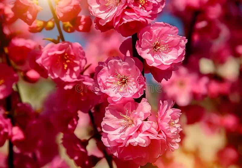 Kirschblüte, Kirschblüte, Kirschbaum mit Blumen lizenzfreies stockbild