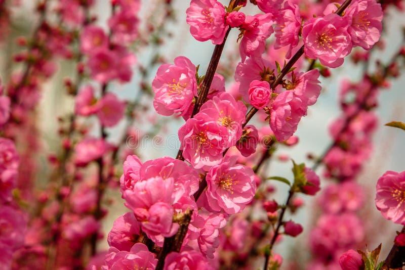 Kirschblüte, Kirschblüte, Kirschbaum mit Blumen lizenzfreies stockfoto
