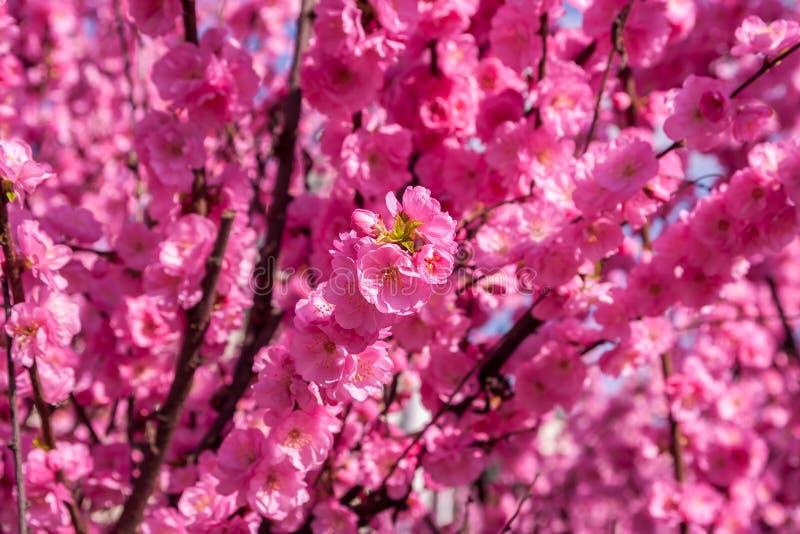 Kirschblüte, Kirschblüte, Kirschbaum mit Blumen Orientalisches cherr lizenzfreies stockbild