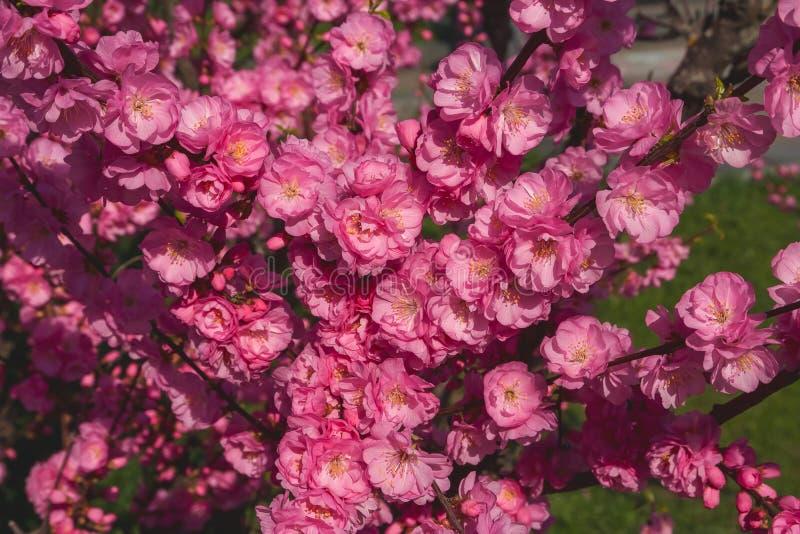 Kirschblüte, Kirschblüte, Kirschbaum mit Blumen Orientalisches cherr lizenzfreies stockfoto