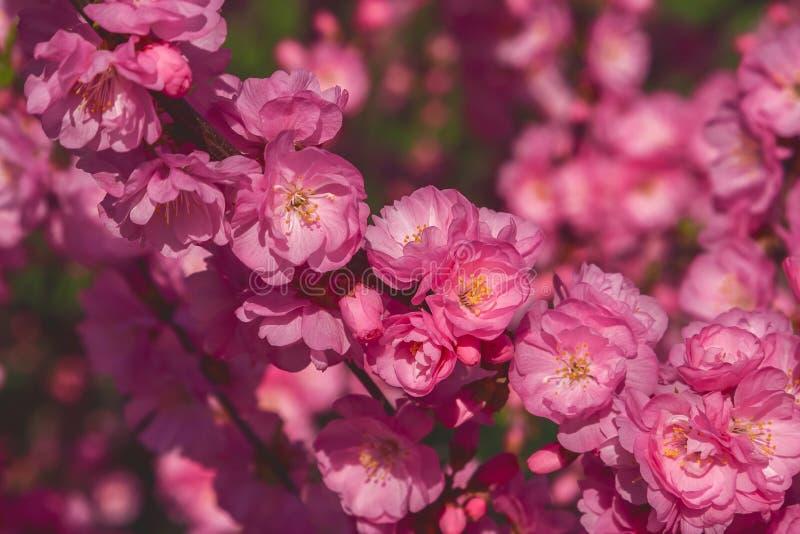 Kirschblüte, Kirschblüte, Kirschbaum mit Blumen Orientalisches cherr stockfotografie