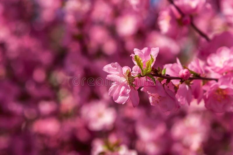 Kirschblüte, Kirschblüte, Kirschbaum mit Blumen Orientalisches cherr stockbilder