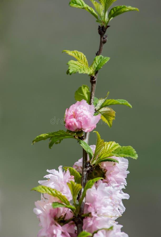 Kirschblüte-Kirschblüten fokussieren, um sich gegen blauen Himmel zu verzweigen und bewölken Hintergrund stockfoto