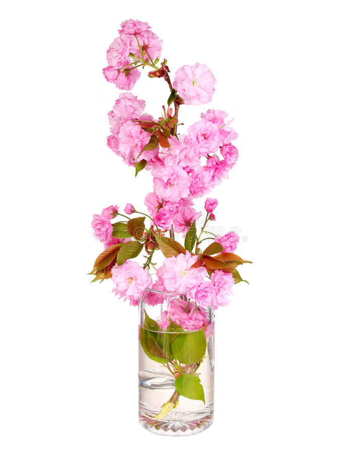 Kirschblüte. Kirschblütenniederlassung im Glasvase lokalisiert stockbild