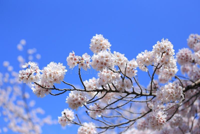 Kirschblüte mit blauem Himmel lizenzfreie stockbilder