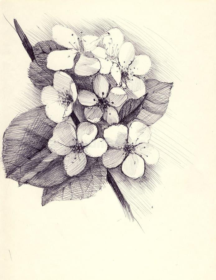 Kirschblüte-Niederlassung der Handzeichnung blühende Kirsch Skizze mit einem Kugelschreiber auf einem Retro- Hintergrund stock abbildung