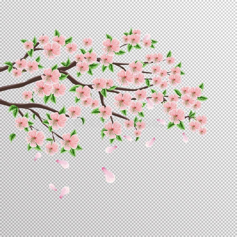 Kirschblüte-Niederlassung des japanischen Kirschbaums mit schönen rosa Blumen Vektorzeichnung auf einem lokalisierten Hintergrund lizenzfreie abbildung