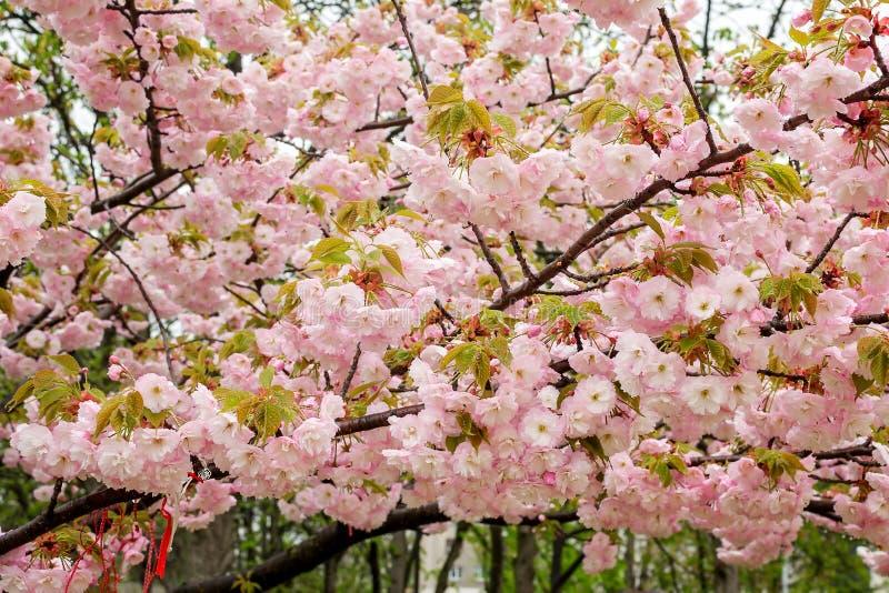 Kirschblüte-Niederlassungen mit vielen rosa Blumen Blüte des Kirschbaums im Frühjahr Natur und Botanik, Anlagen mit den rosa B stockfoto