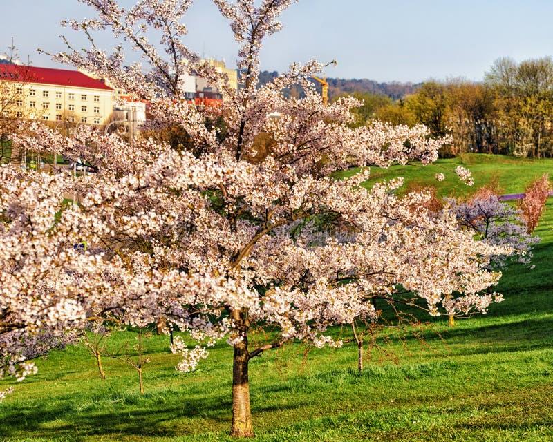 Kirschblüte- oder Kirschbaumblumenblüte im Frühjahr Vilnius lizenzfreie stockfotos