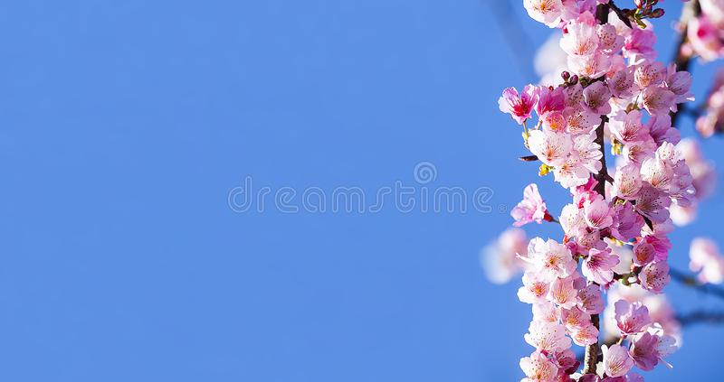 Kirschblüte, rosa Kirschblüte-Blume mit netter bule Himmelfarbe lizenzfreie stockfotografie