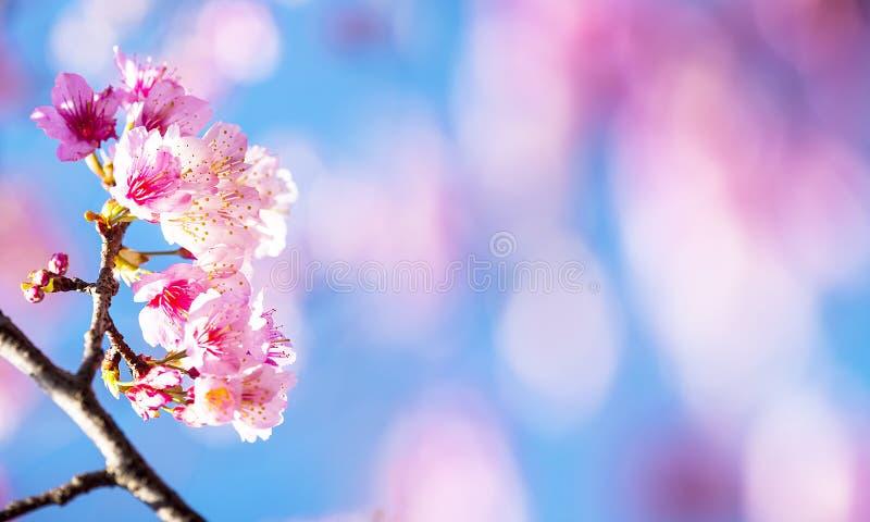 Kirschblüte, rosa Kirschblüte-Blume mit netter bule Himmelfarbe stockbild