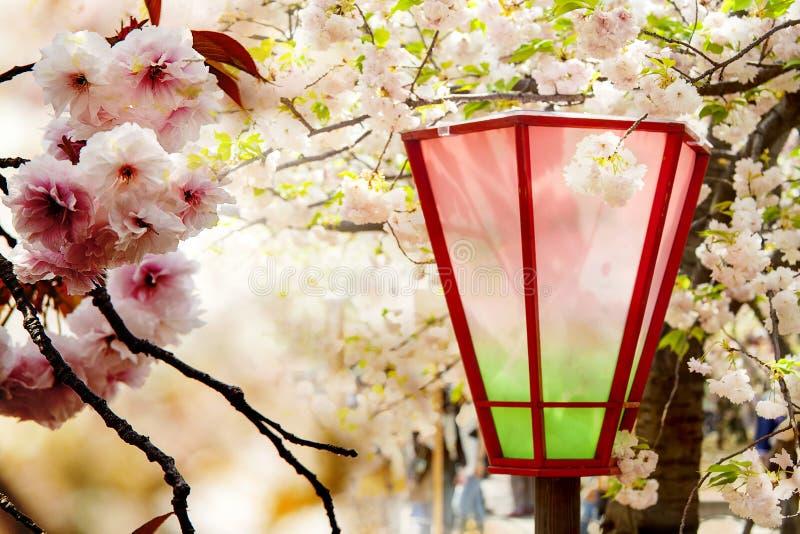Kirschblüte, rosa Blumen beim Blühen mit nettem Hintergrund stockbild