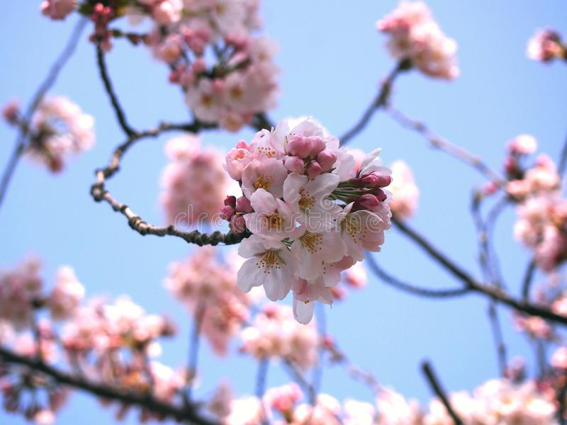 Kirschblüte Sakura stockbilder